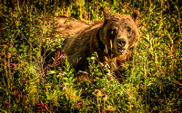Grizzly Bear - Grand Teton National Park