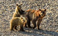 Grizzly Bear Family - Grand Teton National Park